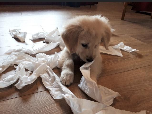 Toilet Training Puppies